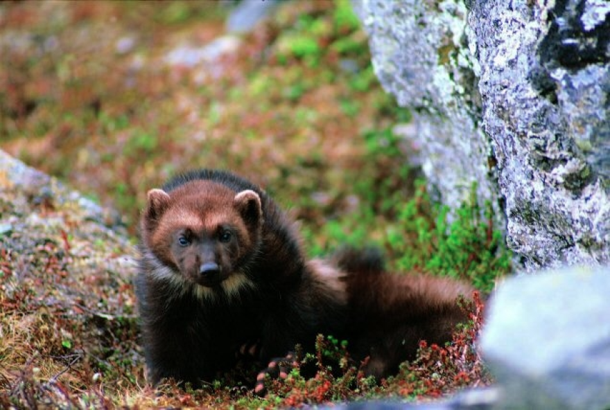The wolverine is proposed as threatened in the United States.