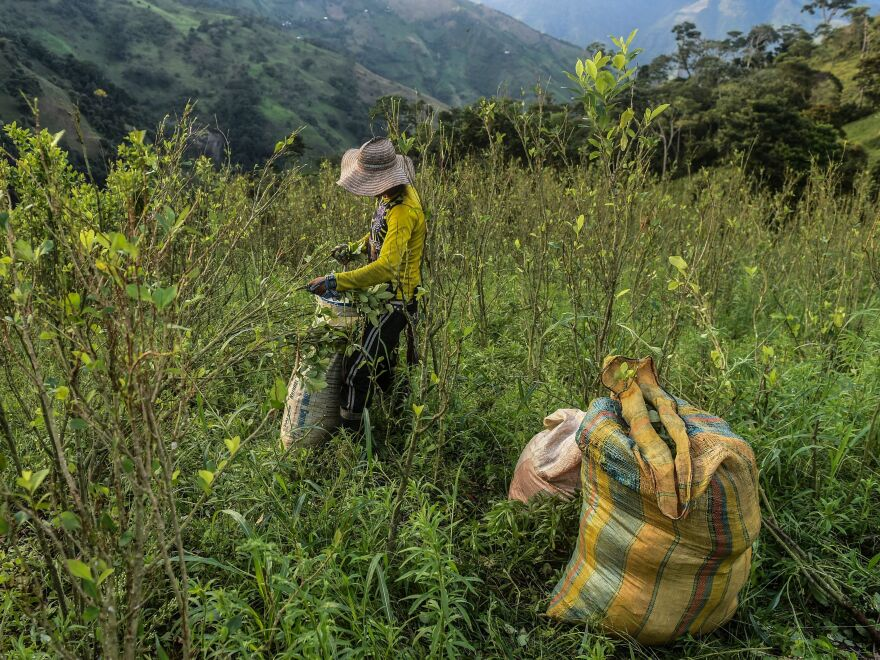 A farmer picks coca leaves in a field in Colombia's Antioquia department last November.