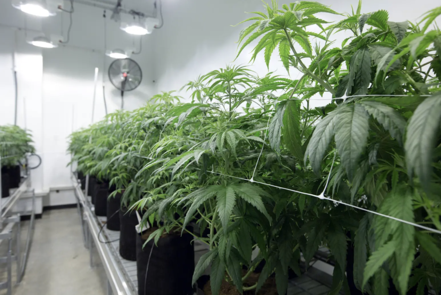 Marijuana plants at Compassionate Cultivation, a medical cannabis company in Ausin.