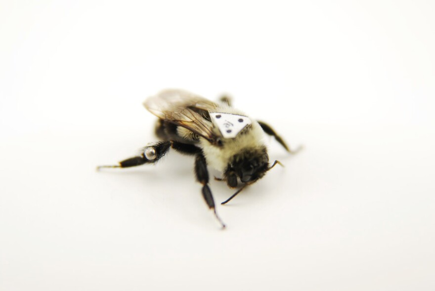 Ready, set, fly! The ball bearings glued to this bumblebee's legs simulate the weight and placement of pollen loads. The tag on the insect's back is a lightweight sensor, designed to track its movements in flight.