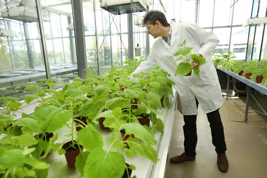 Icon Genetics' Dr. Frank Thieme selects samples of <em>Nicotiana benthamiana, </em>a relative of tobacco, growing in a company greenhouse in Halle, Germany. The company uses the plants to produce antibodies that could be helpful for increasing supplies of ZMapp.