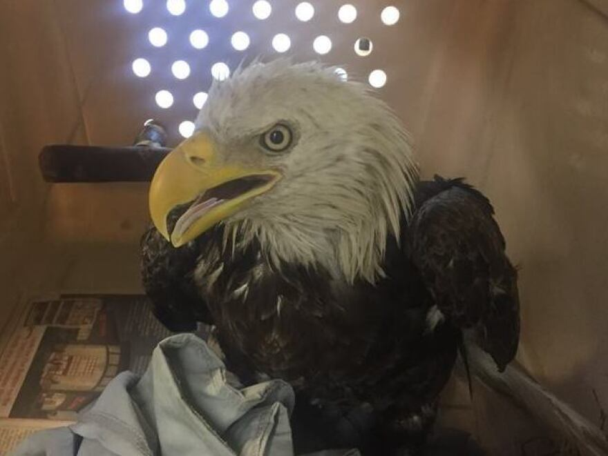 The bedraggled bald eagle spotted Saturday in a bush in southeast Washington, D.C. is being transferred to a Delaware rescue center to recuperate.