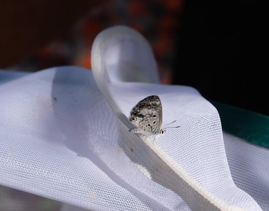 miami_blue_butterfly__0.jpg