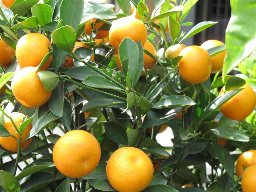 Florida's citrus industry ended its growing season on a slight uptick, regaining the Sunshine State's dominance in orange production over California.