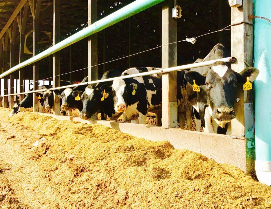 051718_OVR_DairyWoes_Cows.jpg