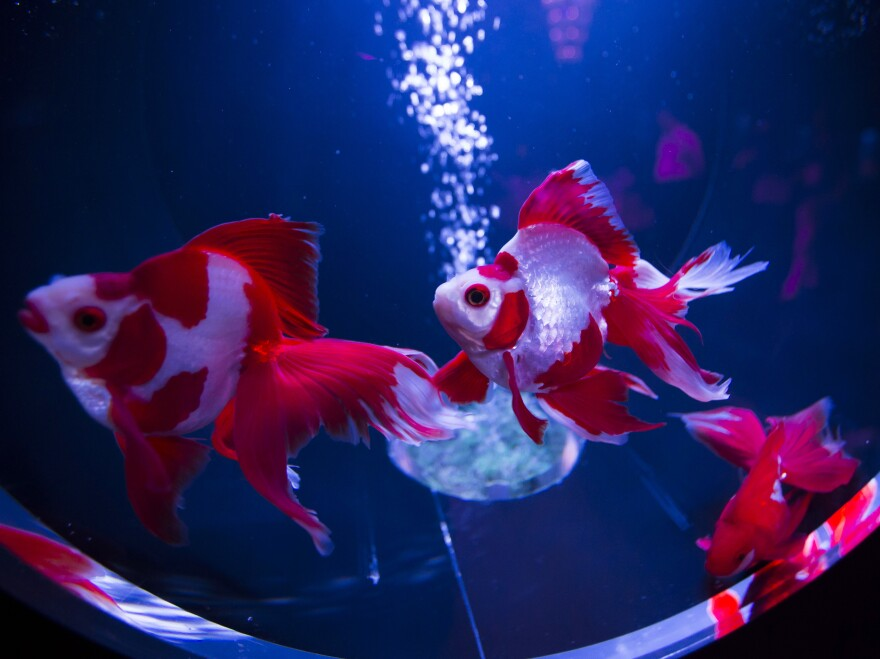 "Ryukin goldfish swim at the ""Art Aquarium 2016"" exhibition in Tokyo."