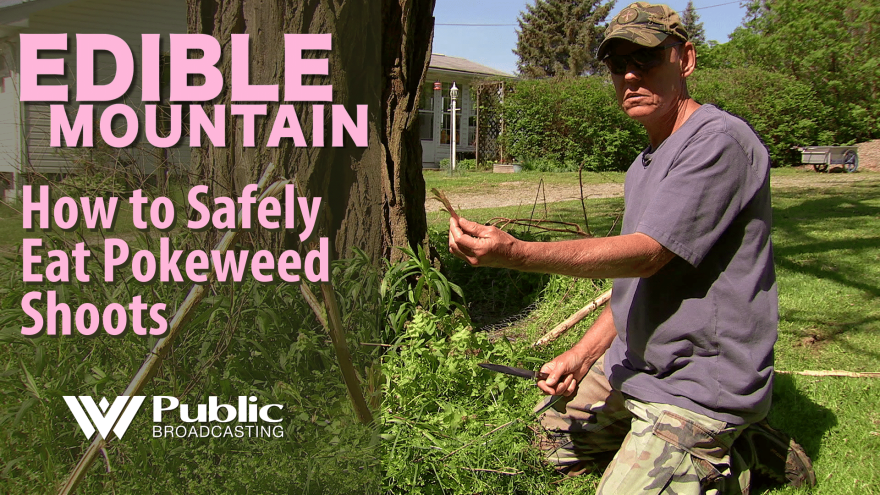 Edible Mountain - How to Safely Eat Pokeweed Shoots