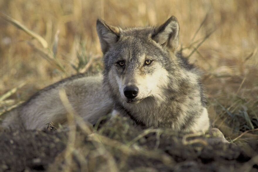 Close up photo of gray wolf sitting in grass.