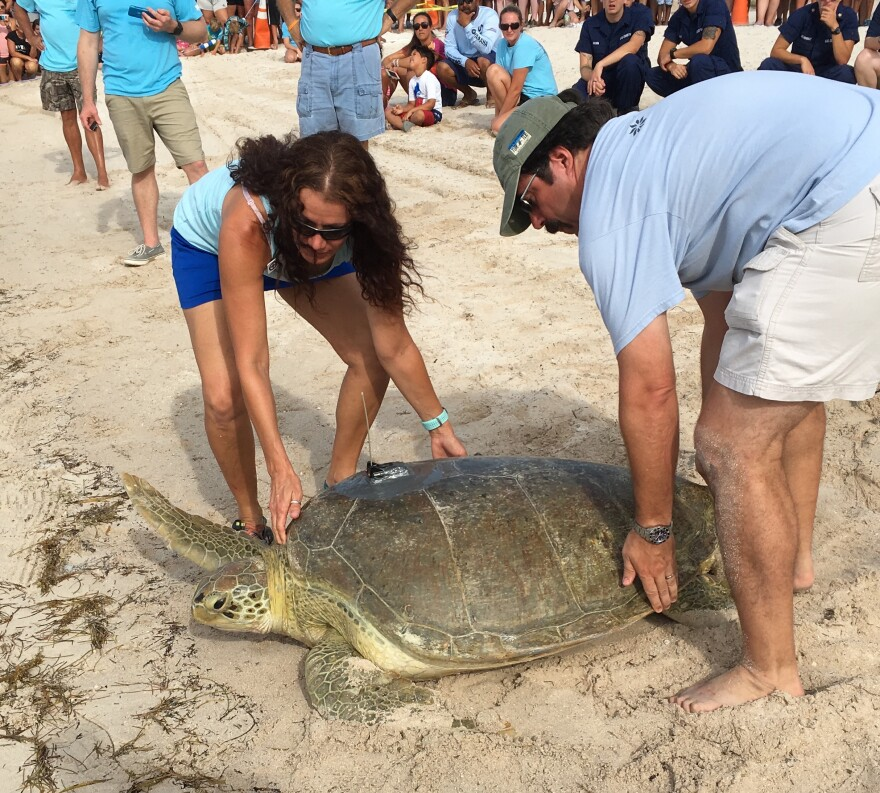 Little Money, a 365-pound green sea turtle, needed a little encouragement - and help - to return to the ocean Friday in Marathon.