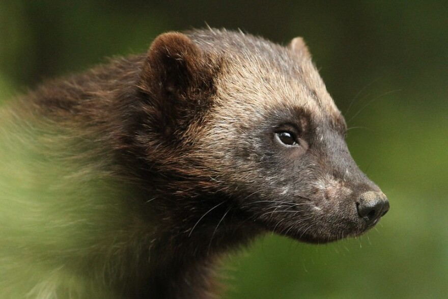 Photo of a wolverine.