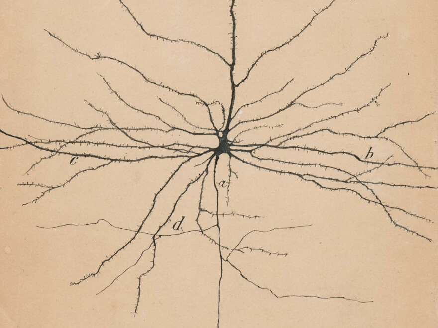 Pyramidal neurons are among the few neurons in the brain that can be seen with the naked eye.