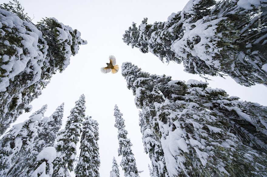 <em>High-flying jay</em> by Lasse Kurkela, Finland, Winner, 15-17 Years. Lasse Kurkela watches a Siberian jay fly to the top of a spruce tree to stash its food. Kurkela wanted to give a sense of scale in his photograph of the Siberian jay, tiny among the old-growth spruce-dominated forest. He used pieces of cheese to get the jays accustomed to his remotely controlled camera.