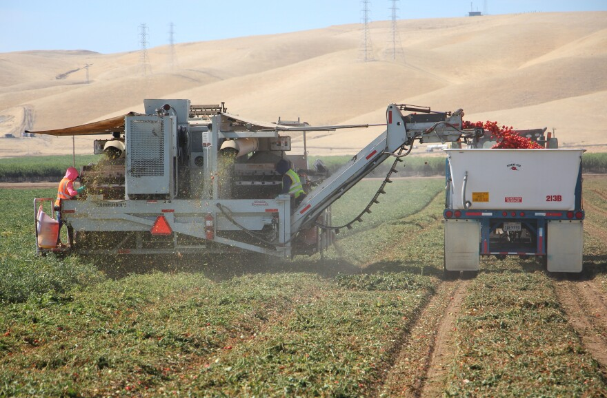 California's Central Valley grows about 12 million tons of tomatoes each year for processing into canned tomato products. They are harvested by machine.