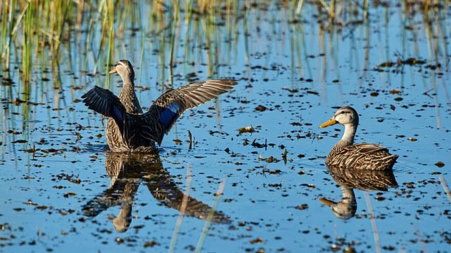 two ducks swim in a lake