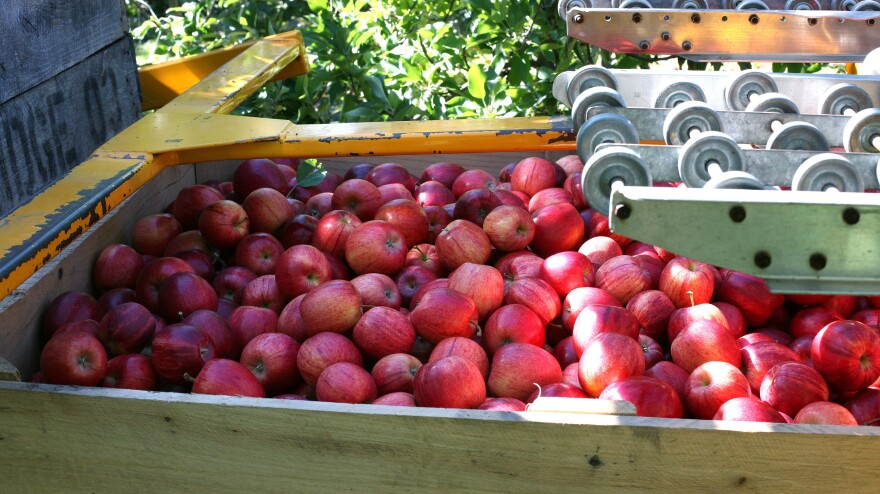 Apples sit in a bin after being harvested at Riveridge Produce in Sparta, Mich. The apple harvest in Michigan this year is projected to be about ten times larger than in 2012.