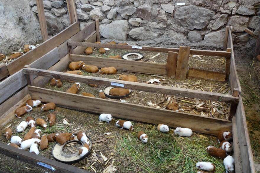 Guinea pigs on a Peruvian farm feed on grass and alfalfa.