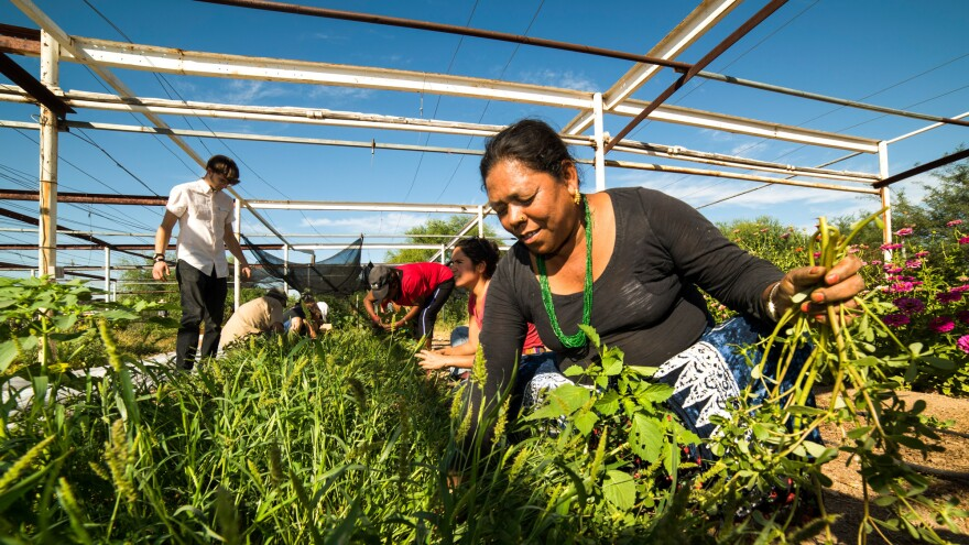 Iskashitaa participant Rogita Darji, a refugee from Bhutan, gathers purslane, an edible plant to some, but considered a weed on a farm in Tucson, Ariz.