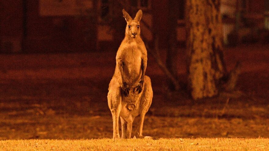 A kangaroo tries to escape a bushfire near the town of Nowra, New South Wales, earlier this week. The rampant bushfires have killed animals and badly burned habitats across Australia.