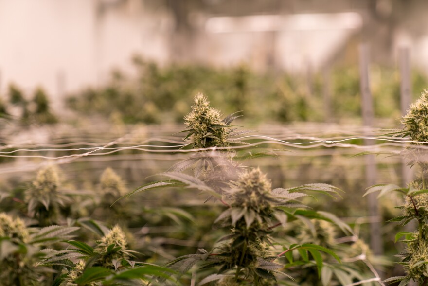 Cannabis plants grow inside Ascend Illinois indoor facility in Barry, IL. Ascend owns two existing medical dispensaries and plans to open two additional recreational dispensaries early next year.
