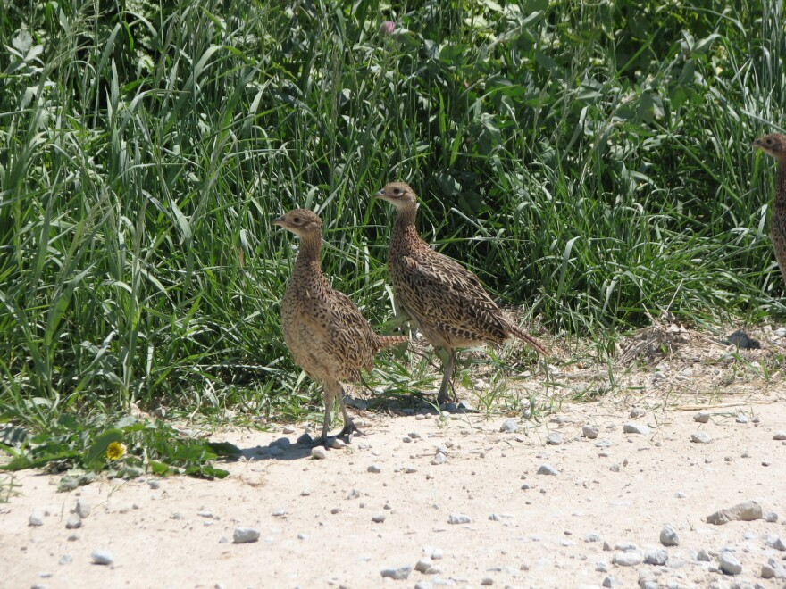 pheasant_chicks_iowa_dnr.jpg