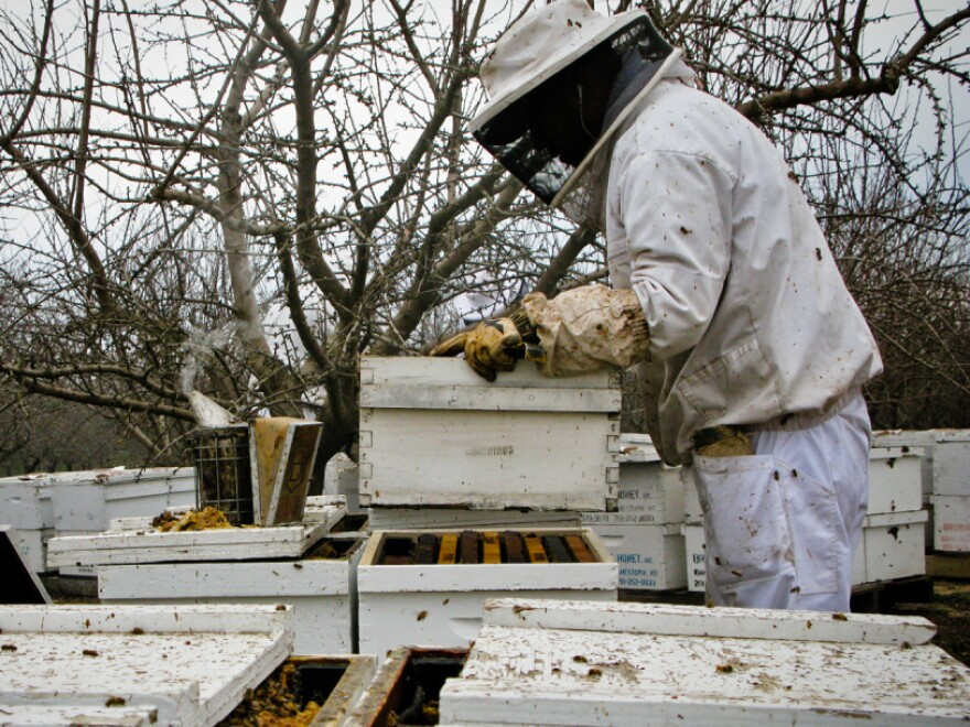 Workers unload beehives near Snelling, Calif. in preparation for the almond blossoms.
