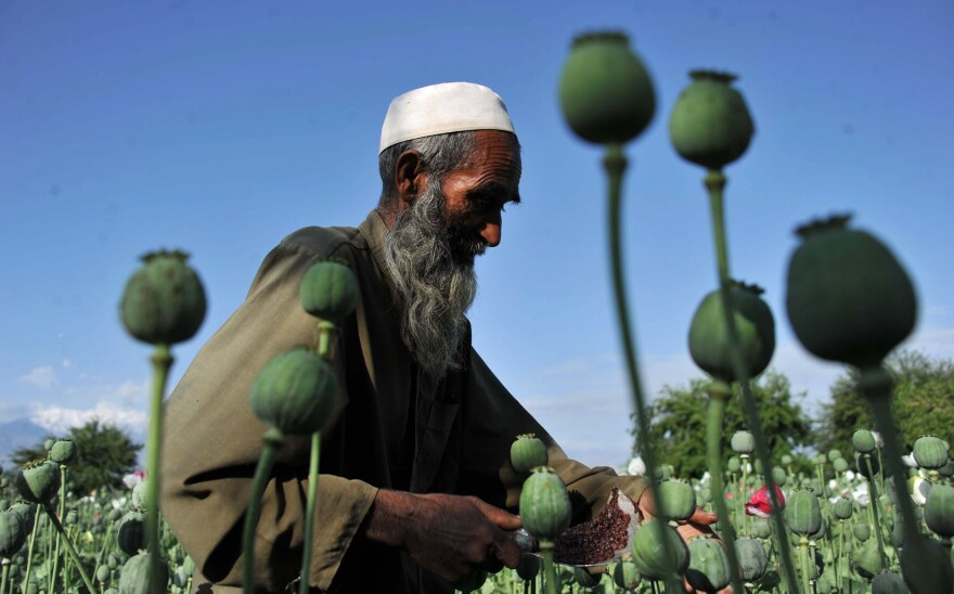 An Afghan farmer collects raw opium as he works in a poppy field in Khogyani District of Nangarhar province in April 2013.