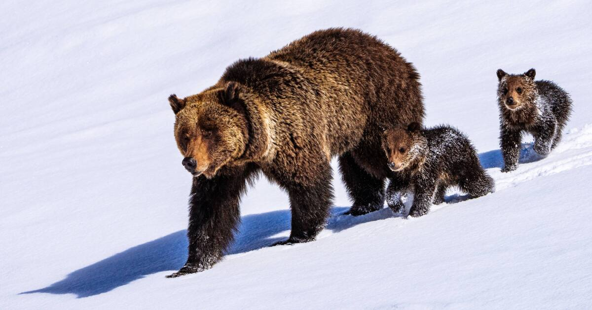 Grizzly Family To Face Hazing After Consistent, And Illegal Roadside Human Activity