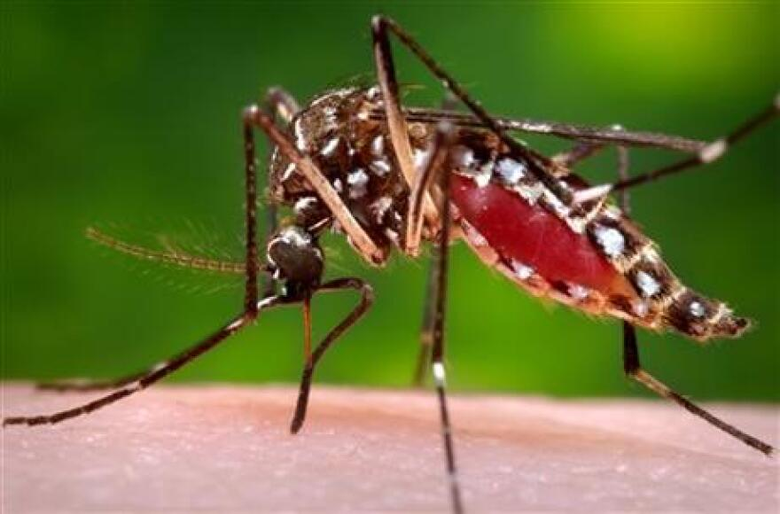 Photo showing a female Aedes aegypti mosquito in the process of acquiring a blood meal from a human host. On Friday, Feb. 26, 2015, the U.S. government said Zika infections have been confirmed in nine pregnant women in the United States.