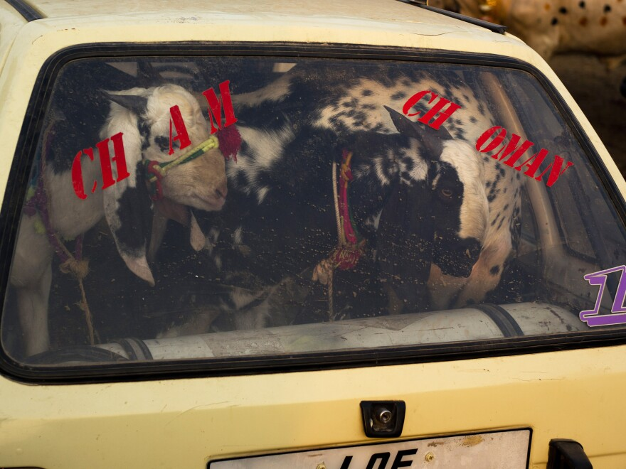 A Pakistani buyer carries goats in a vehicle on the outskirts of Islamabad for Eid al-Adha, the Muslim holiday of sacrifice. The meat from livestock sacrificed on Eid al-Adha is shared with the poor.