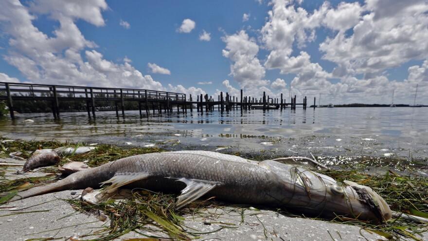 A snook lies dead due to red tide in Bradenton Beach, Florida.