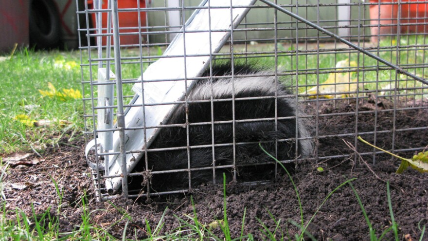This small juvenile skunk was caught by Des Plaines, Ill., homeowner Richard Kaulback.  He says there  have always been raccoons and opossums in the Chicago area, but this year, skunks  have become prolific.