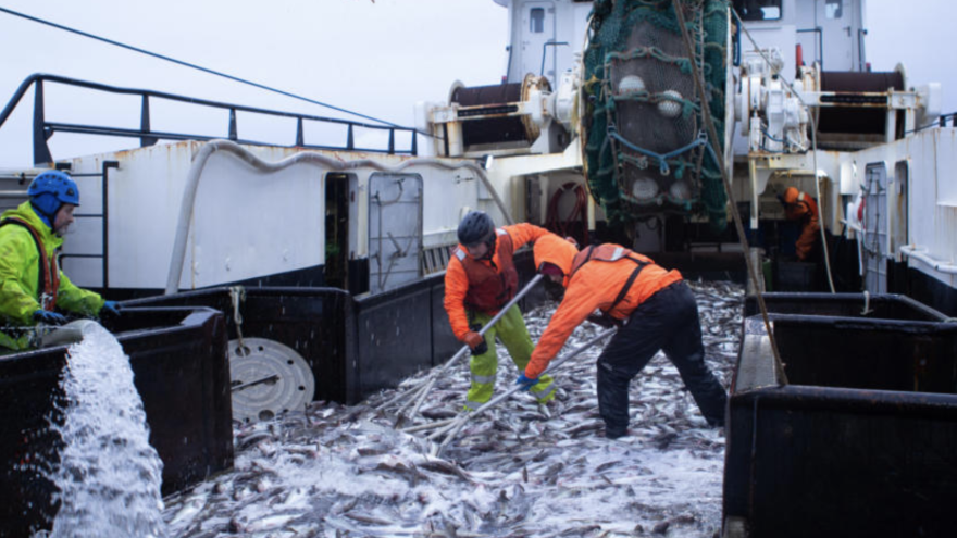 Crew members shovel pollock onboard a trawler on the Bering Sea. The fishing industry has been hit by COVID-19, but the federal agency that manages it has banned mention of the pandemic without preapproval.