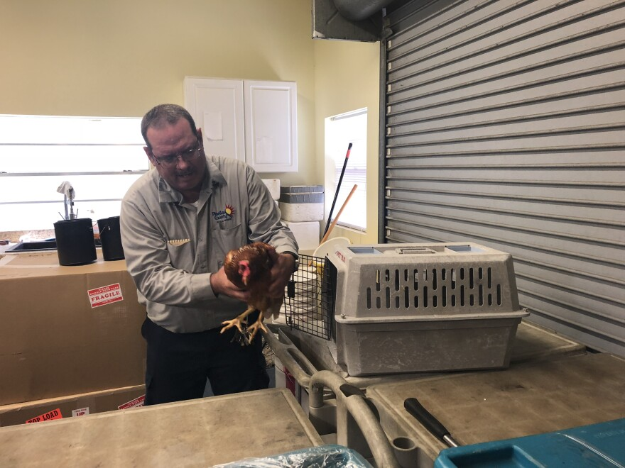 Entomologist Jason Struck poses with one of the chickens used in testing for mosquito-transmitted viruses.