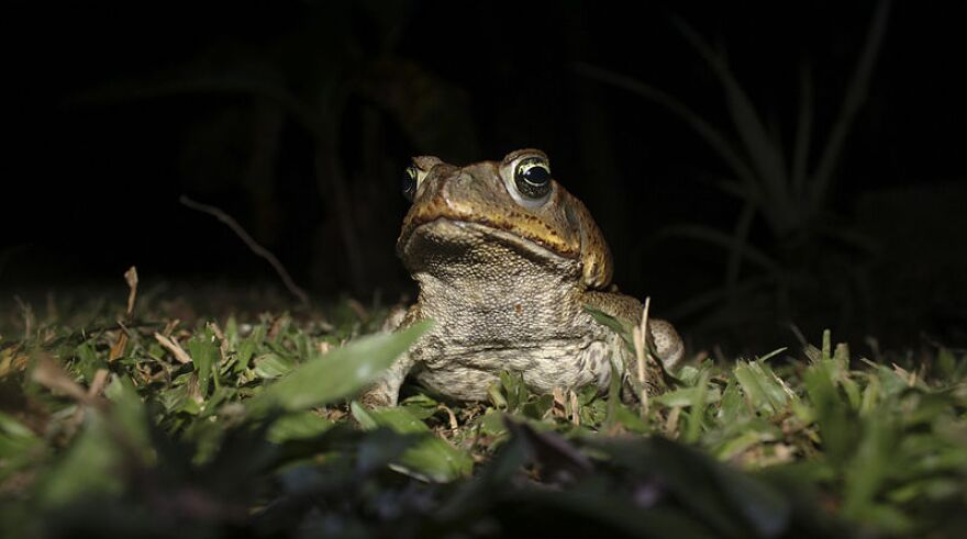 Cricket's eye view of a cane toad
