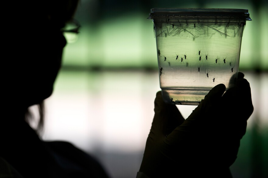The <em>Aedes aegypti</em> mosquito is one of two types thought to be capable of carrying and transmitting the Zika virus.