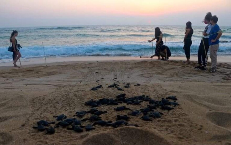 Volunteers watch over sea turtle hatchlings as they make their way down the beach in Lebanon.