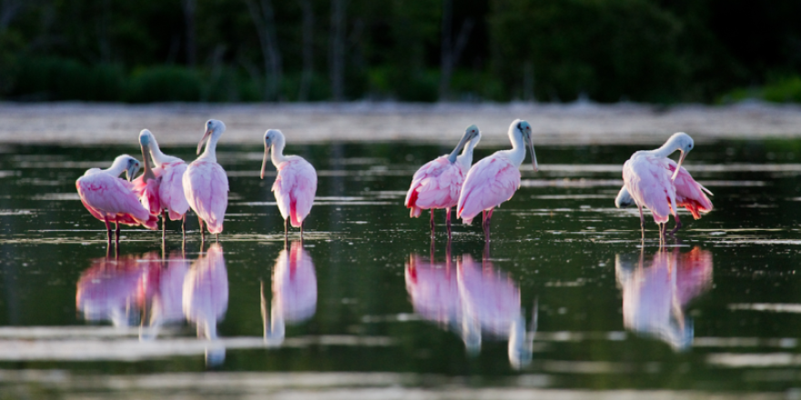 Roseate spoonbills in Florida Bay, at the southern end of the Everglades ecosystem.
