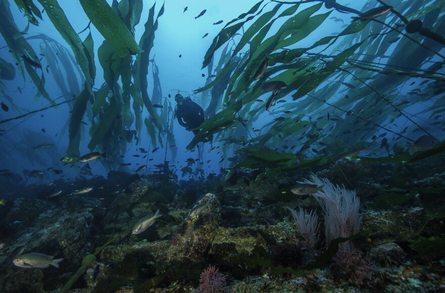A diver swims in a kelp forest in California's Channel Island National Park, where several of the state's marine protected areas are located.