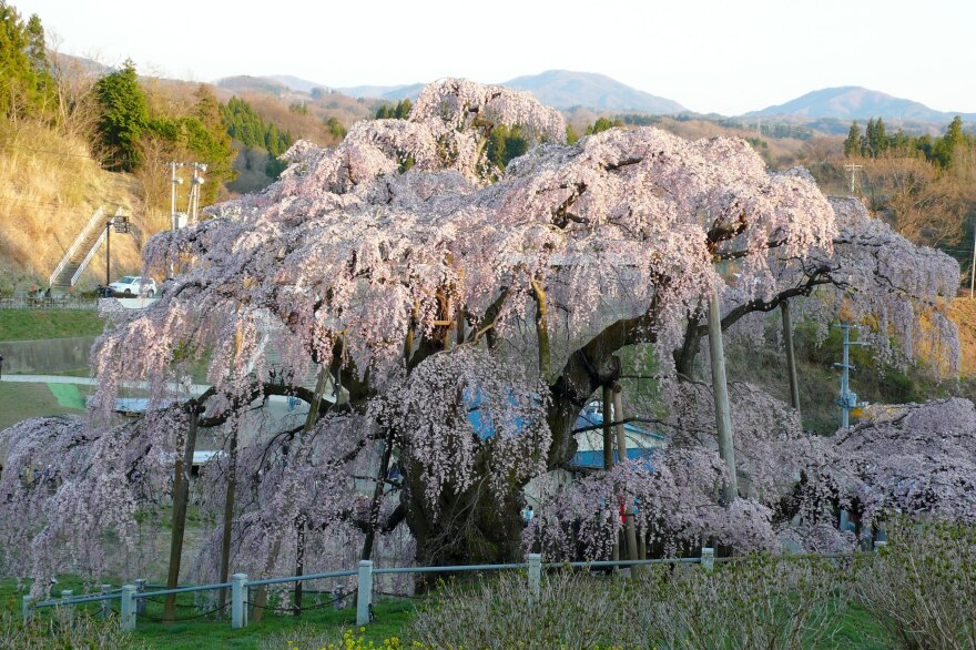 The Takizakura blooms in 2010, before fears of radiation from the 2011 nuclear accident, and now the global coronavirus pandemic, slowed the flow of tourism.