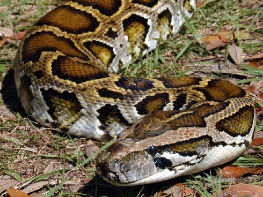 fl-python-hunt-20130104-001.jpg