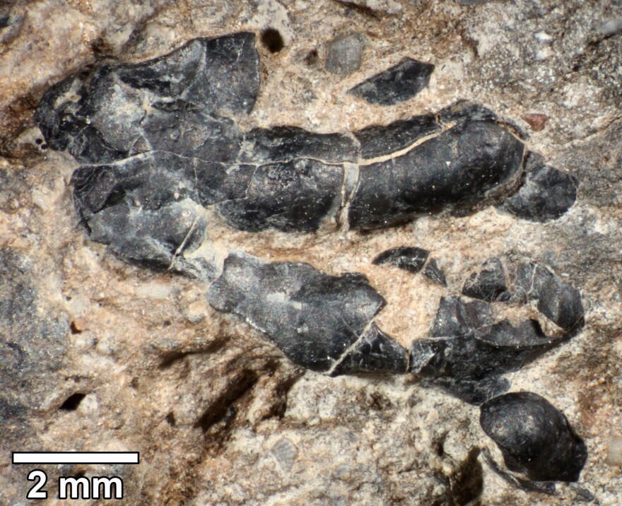 The surface of knobby crustacean shell fragment embedded in fossilized feces samples from Grand Staircase-Escalante National Monument in Utah.