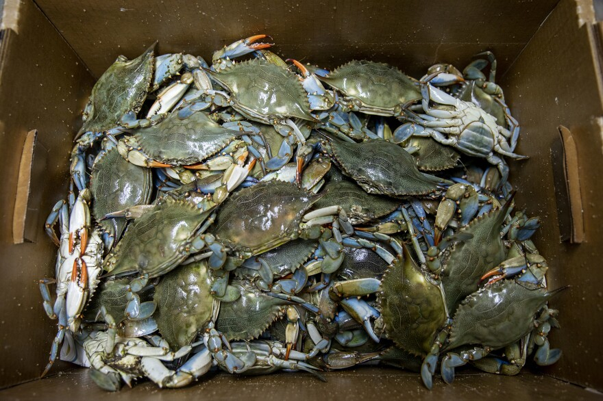 A crate of freshly caught blue crabs ready for transport to restaurants on the Texas Gulf Coast.