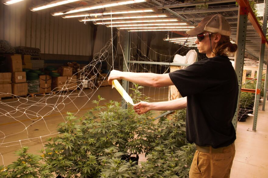 Photo of man looking at paper under lights next to hemp plants.