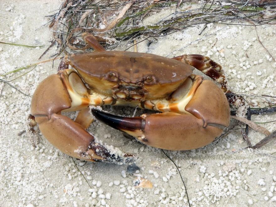 stone_crab_-_fwc.jpg