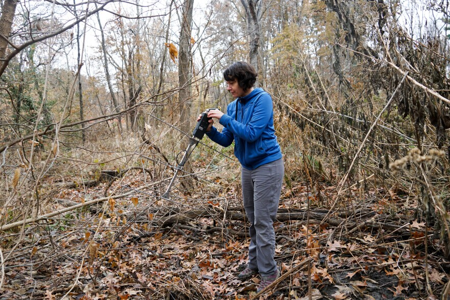 Scientist Maris Brenn-White using an antenna to find a box turtle in Forest Park in November 2019.