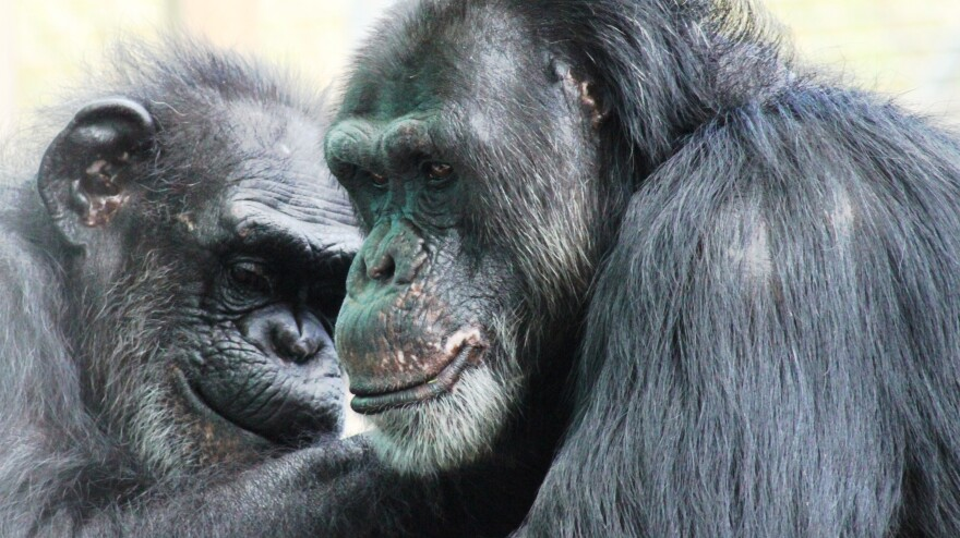 Two chimps groom each other at the Save the Chimps facility in Florida. The National Institutes of Health owns about 360 chimpanzees that aren't yet retired and that are living at research facilities; new guidelines say most of its chimps should be retired.