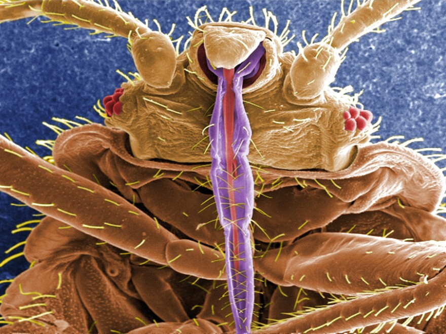 When it comes to bedding down with a mate, bedbugs aren't too choosy.