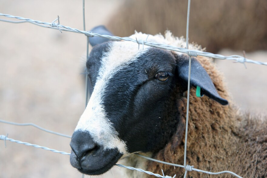 This yearling ewe is named Oreo and will become a milking ewe in another year, when she has reached maturity.