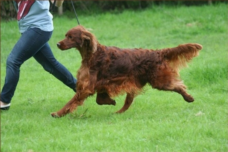 Irish setter Thendara Satisfaction, known as Jagger, runs in this undated image, made available from Oakdene.Be on Monday. The 3-year-old Irish setter died last Friday shortly after competing at Crufts, the U.K.'s top dog show. His owners say he was poisoned.