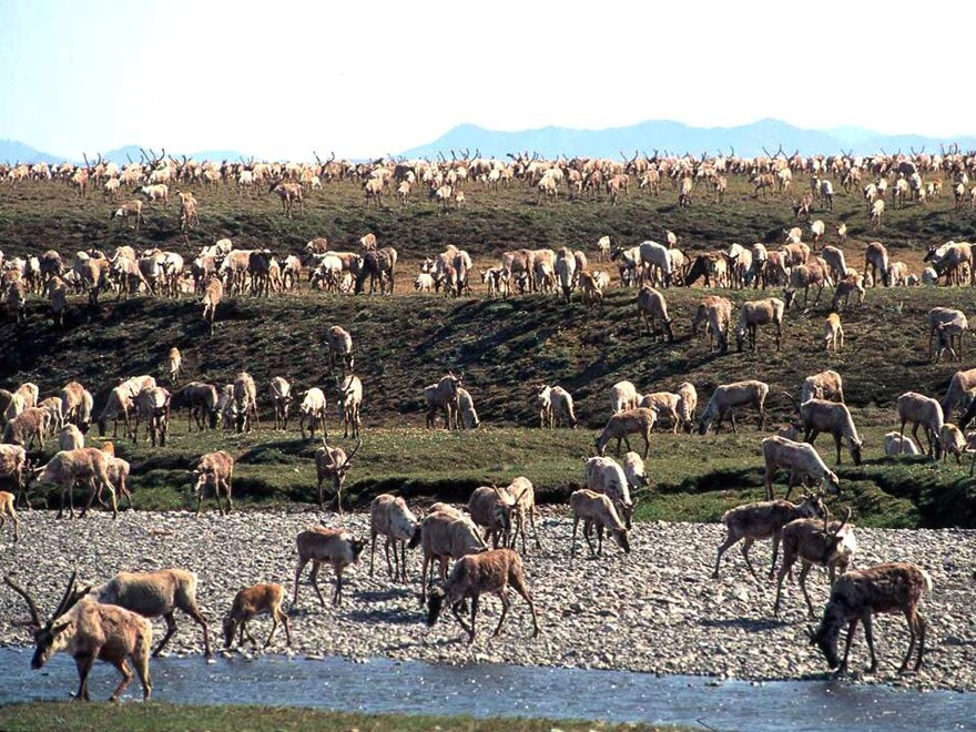 Caribou from the Porcupine Caribou Herd migrate onto the coastal plain of the Arctic National Wildlife Refuge in northeast Alaska. The refuge has long been eyed for oil exploration.